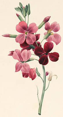 Botanical Drawing - Matthiola by Louise D'Orleans