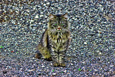 Photograph - Mattie The Main Coon Cat by Gina O'Brien