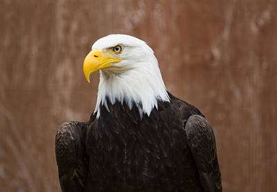 Photograph - Mature Adult Bald Eagle by Richard Lee