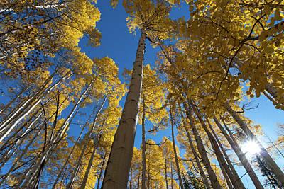 Photograph - Mature Autumn Aspen With Sunburst by Cascade Colors