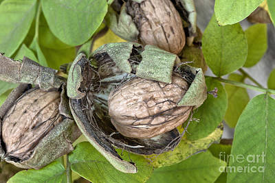 Mature English Walnuts On Branch Art Print