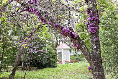 Cercis Photograph - Mature Flowering Texas Redbud Tree by Inga Spence
