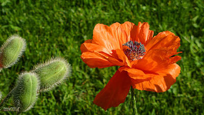 Mature Poppy And Pods Art Print by Tina M Wenger