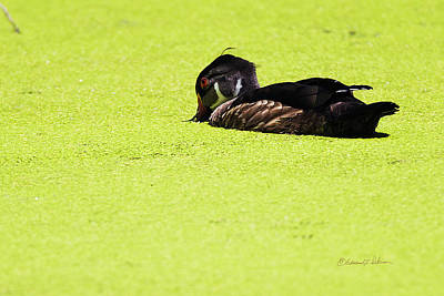 Photograph - Maturing Wood Duck And Duck Weed by Edward Peterson