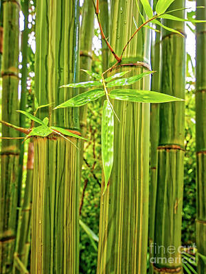 Photograph -  Maui Bamboo  by Tom Jelen
