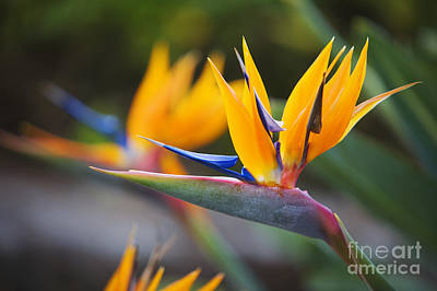 Photograph - Maui Bird Of Paradise by Ron Dahlquist - Printscapes
