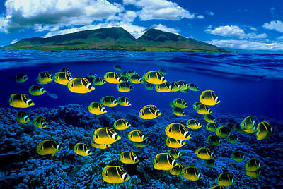 Photograph - Maui Butterflyfish by Dave Fleetham - Printscapes