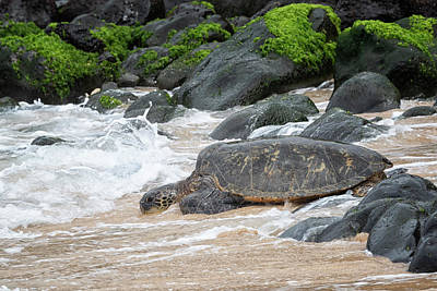 Photograph - Maui Honu by Randy Hall