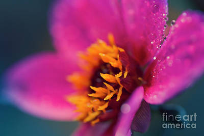 Photograph - Maui Mystic Dreamer Dahlia Jewels by Sharon Mau