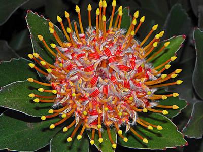 Photograph - Maui Protea I by Elizabeth Hoskinson