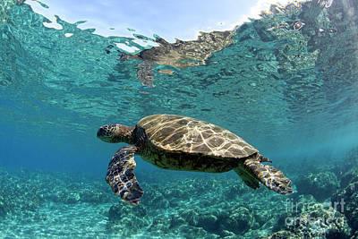 Photograph - Maui Sea Turtle by David Olsen