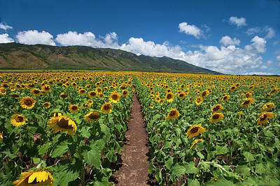 Photograph - Maui Sunflowers by James Roemmling