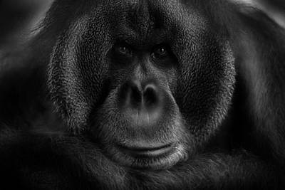Ape Wall Art - Photograph - Maurice by Kay