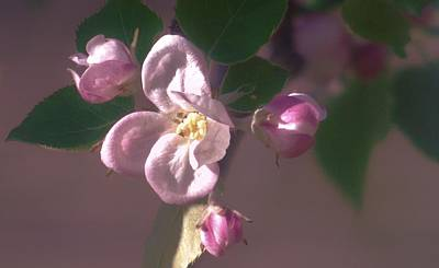 Photograph - Mauve Blossom by Barbara St Jean