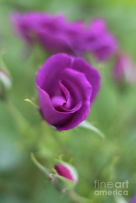 Photograph - Mauve Rosebud Bokeh by Terri Waters
