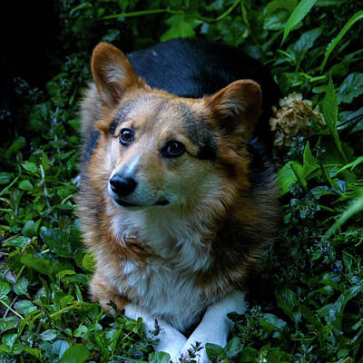Photograph - Max The Corgi Four by Tikvah's Hope