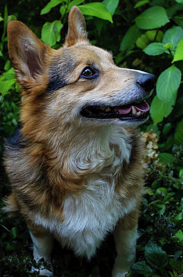 Photograph - Max The Corgi One by Tikvah's Hope
