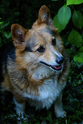 Photograph - Max The Corgi Six by Tikvah's Hope