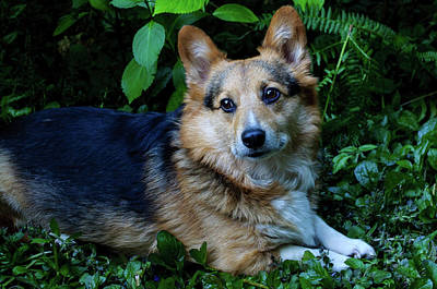 Photograph - Max The Corgi Three by Tikvah's Hope