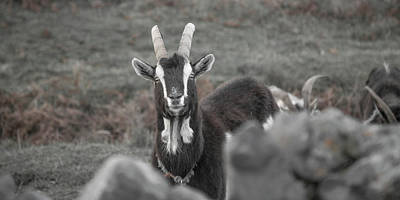 Goat Photograph - May I Help You by Betsy Knapp