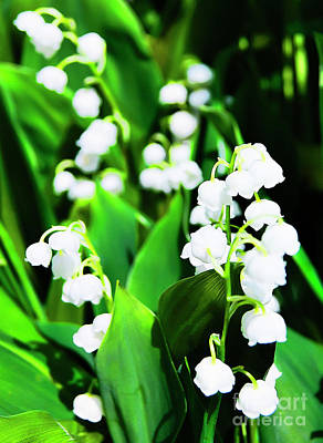 Lilies Photograph - Lilies Of The Valley by Nat Air Craft