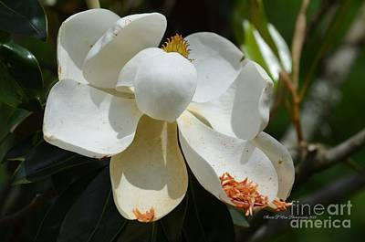 Photograph - May Magnolia by Maria Urso