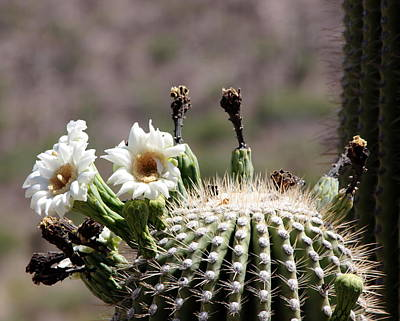 Photograph - May Saguaro Blossoms by Joe Kozlowski