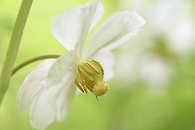 Mayapple Photograph - Mayapple Wildflower  Podophyllum Peltatum by Mother Nature