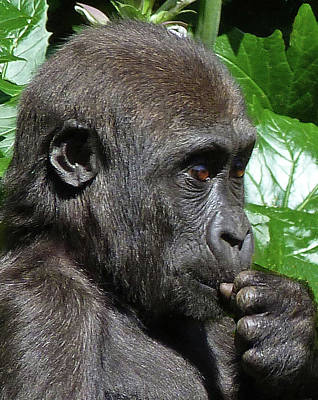Photograph - Maybe I Will - Young Gorilla by Margaret Saheed