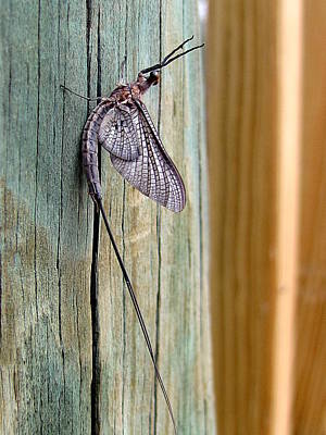 Photograph - Mayfly 001 by Chris Mercer