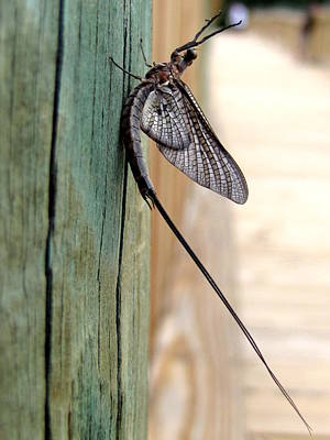 Photograph - Mayfly 003  by Chris Mercer