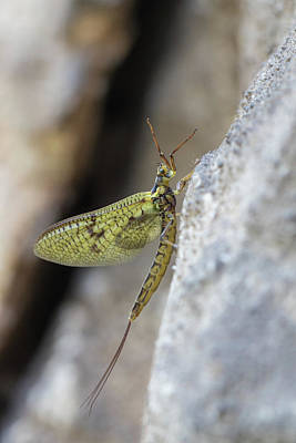 Photograph - Mayfly  by Jivko Nakev