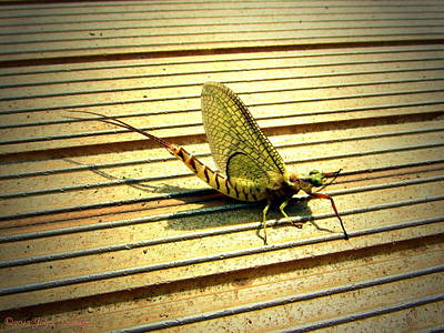 Photograph - Mayfly On The Dock by Joyce Dickens