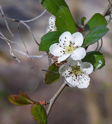 Photograph - Mayhaw Flowers - Crataegus Aestivalis,  by rd Erickson
