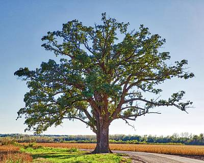 Photograph - Mcbaine Bur Oak by Harold Rau
