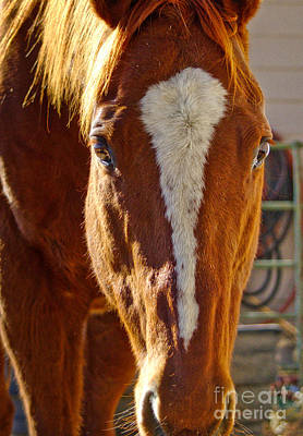 Photograph - Mccool, Grandson Of Secretariat by Cindy Schneider