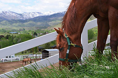 Photograph - Mccool Grazing by Cindy Schneider