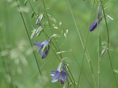 Photograph - Meadow Bells by Barbara St Jean