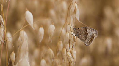 Photograph - Meadow Brown Roosting by Wendy Cooper