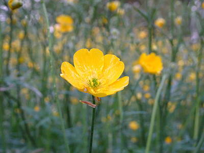 Photograph - Meadow Buttercup by Susan Baker