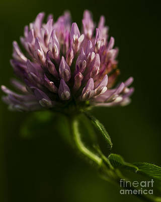 Photograph - Meadow Clover by JT Lewis