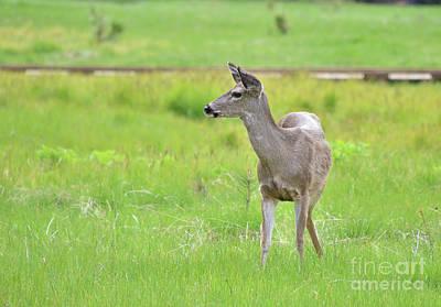 Photograph - Meadow Deer by Debby Pueschel
