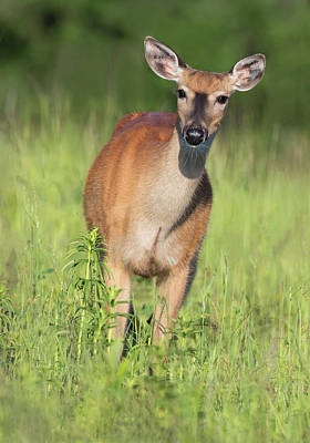 Photograph - Meadow Doe by Art Cole