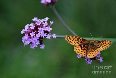 Photograph - Meadow Fritillary Butterfly On Verbena 2015 by Karen Adams