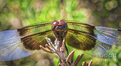 Photograph - Meadow Hawk Dragonfly 2 by Mitch Shindelbower