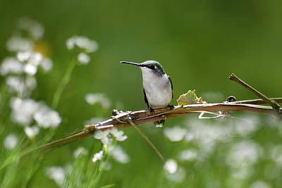 Photograph - Meadow Hummingbird by Christina Rollo