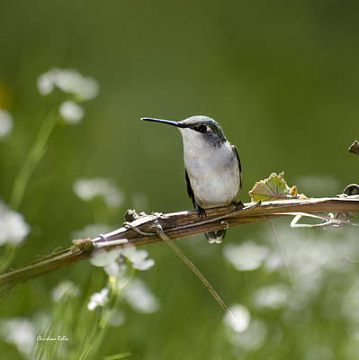 Photograph - Meadow Hummingbird Square by Christina Rollo
