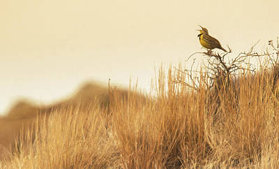 Photograph - Meadow Lark by Kelly Marquardt