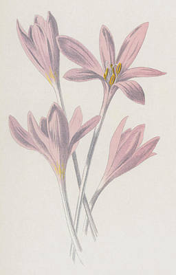 Pink Flower Drawing - Meadow Saffron by Frederick Edward Hulme