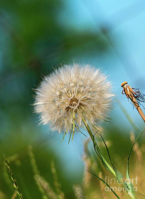 Photograph - Meadow Salsify Plant In Seed by Les Palenik